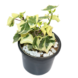 Variegated English Ivy - Succulent Plant