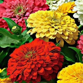 Zinnia Tall Mixed Color Flowering Seeds