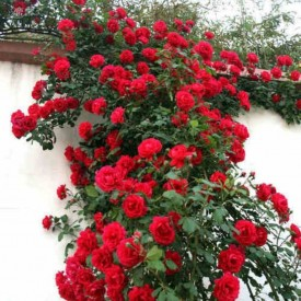 Creeper Rose Plant Red