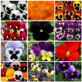 Set of 12 Attractive Pansy Flower Seeds