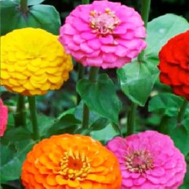 Zinnia F1 Tall Mixed Color Flowering Seeds