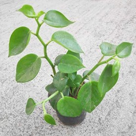 Peperomia Cupid Plant, Peperomia Scandens Plant (Green)