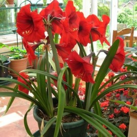 Amaryllis Lily (Any Color) Plant