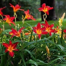 Hemerocallis, Day Lily (Any Color) Plant