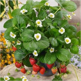 Strawberry Plant (Sweet Charlie Jharaber, Grafted) Plant
