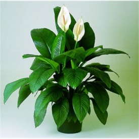 Peace Lily Plant, Spathiphyllum (Small, Hanging basket) Plant