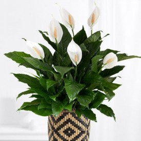 Peace Lily For You Gift Plant