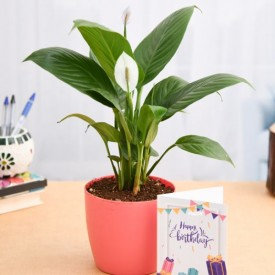 Peace Lily Plant for Birthday Wishes
