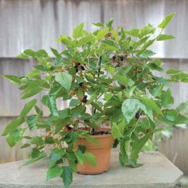 Shahtoot Plant, Mulberry, Tuti (Small Leaves) Plant