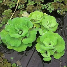 Water Cabbage Plant, Water Lettuce (3 Piece) Plant