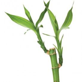 1 Lucky Bamboo Stalk (A Symbol of Commitment) Gift Plant