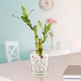 2 Lucky Bamboo Stalks (A Symbol of Love) Gift Plant