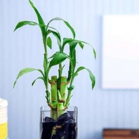 3 Lucky Bamboo Stalks (A Symbol of Happiness) Gift Plant