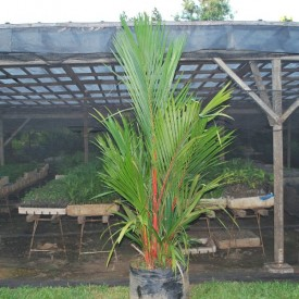 Red Neck Palm Plant