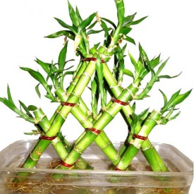 3 Layer Pyramid Lucky Bamboo in a Tray