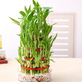 8 Layer Lucky Bamboo Plant in a Bowl