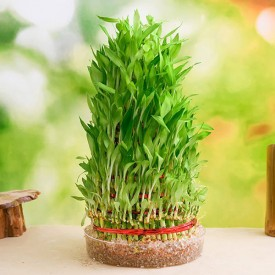 9 Layer Lucky Bamboo Plant in a Bowl
