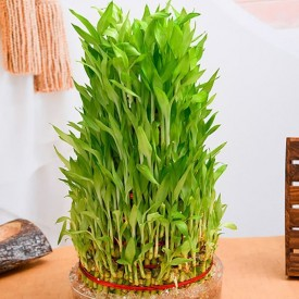 10 Layer Lucky Bamboo Plant in a Bowl