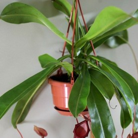 Pitcher plant, Nepenthes Alata (hanging basket) Plant