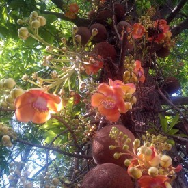 Cannon Ball Plant, Flower of Puducherry Plant
