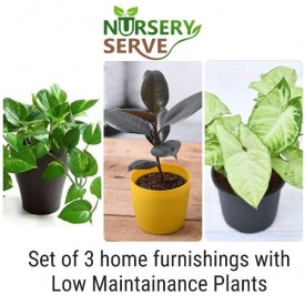 Set of 3 Home Furnishings with Low Maintainance Plants