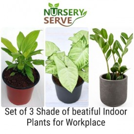 Set of 3 Shade of Beatiful Indoor Plants for Workplace