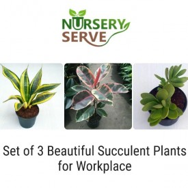 Set of 3 Beautiful Succulent Plants for Workplace