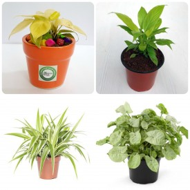 Set of 4 Chill Out Stress Plants