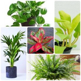Set of 5 Liberal indoor plants for Home
