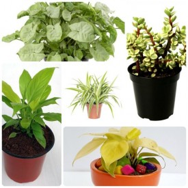 Set of 5 Health Wealthy Happy New Year Plants