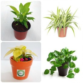 Set of 4 Lucky Plants for Home
