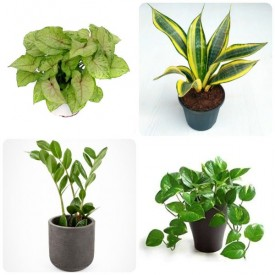Set of 4 Happy Independence Day Plants