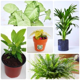Set of 5 Healthy Workplace & House Plants