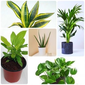 Set of 5 Oxygen Booster & Air Purifying Plants