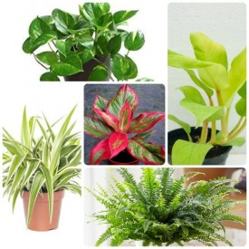 Set of 5 cooling in Summer & Naturally Air Freshener Plants