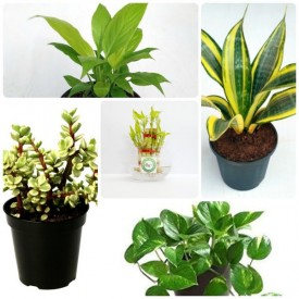 Set of 5 Bring Luck Plants