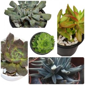 Set of 5 Easy to Grow Succulent Plants