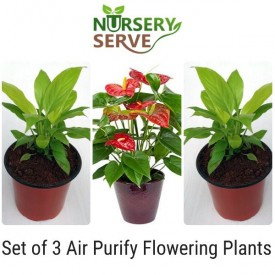 Set of 3 Air Purify Flowering Plants