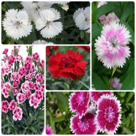 Set of 5 Awesome Dianthus Flowering Plants