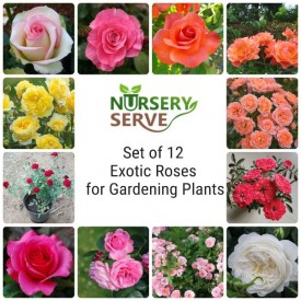 Set of 12 Exotic Roses for Gardening Plants