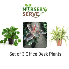 Set of 3 Plants for Office Table