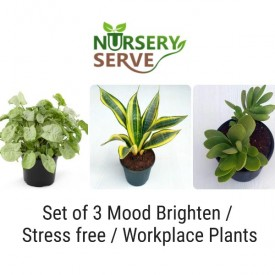 Set of 3 Mood Freshener / Relieve Stress  / Workplace Plants