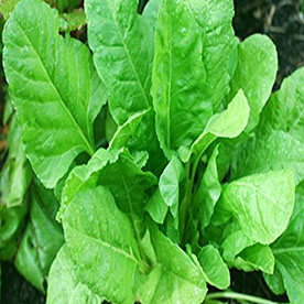 Spinach All Green Vegetable Seeds