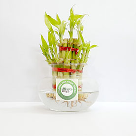 Bringing Good Luck 2 Layer Lucky Bamboo plant