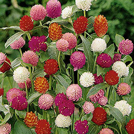 Gomphrena Mixed Color Flowering Seeds