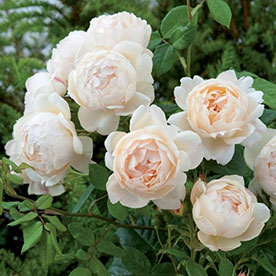 Miniature Rose, Button Rose Baby Pink Plant