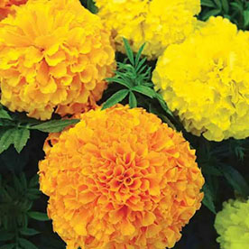 Marigold Mixed Color, Tagetes Erecta Mixed Color Flowering Seeds
