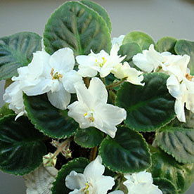 African Violets White Plant