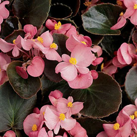 Begonia Pink Flower With Dark Green Leaves Plant