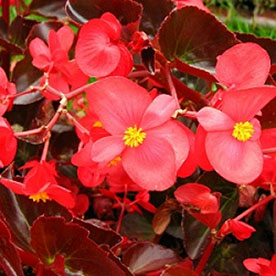 Begonia Red plant